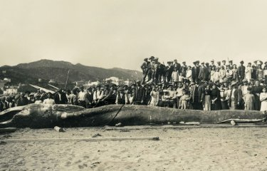 Fa més de cent anys va aparèixer una balena embarrancada en una cala prop de Sant Pol?